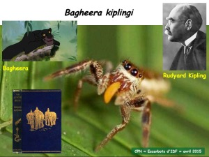 bagheera kiplingi